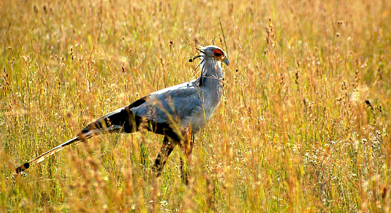 Pilanesberg Secretary Bird Bakgatla Resort Pilanesberg National Park South Africa